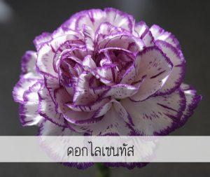 ดอกไลเซนทัส